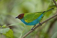 Bay-headed tanager, Osa Peninsula, Costa Rica