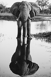 African elephant in black and white ( Loxodonta africana )drinking and reflected in the water, vertical, Okavango Delta, Botswana, Africa