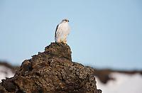 Falco rusticolus; Gyrfalcon; Iceland; Myvatn; Thingeyjarsyslur, Iceland