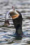 Great Cormorant fishing and eating a fresh trout, New Zealand