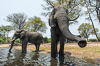 African elephant bulls resting and drinking on the banks of the Chobe River during the heat of the day, Chobe River, Kasane, Botswana.