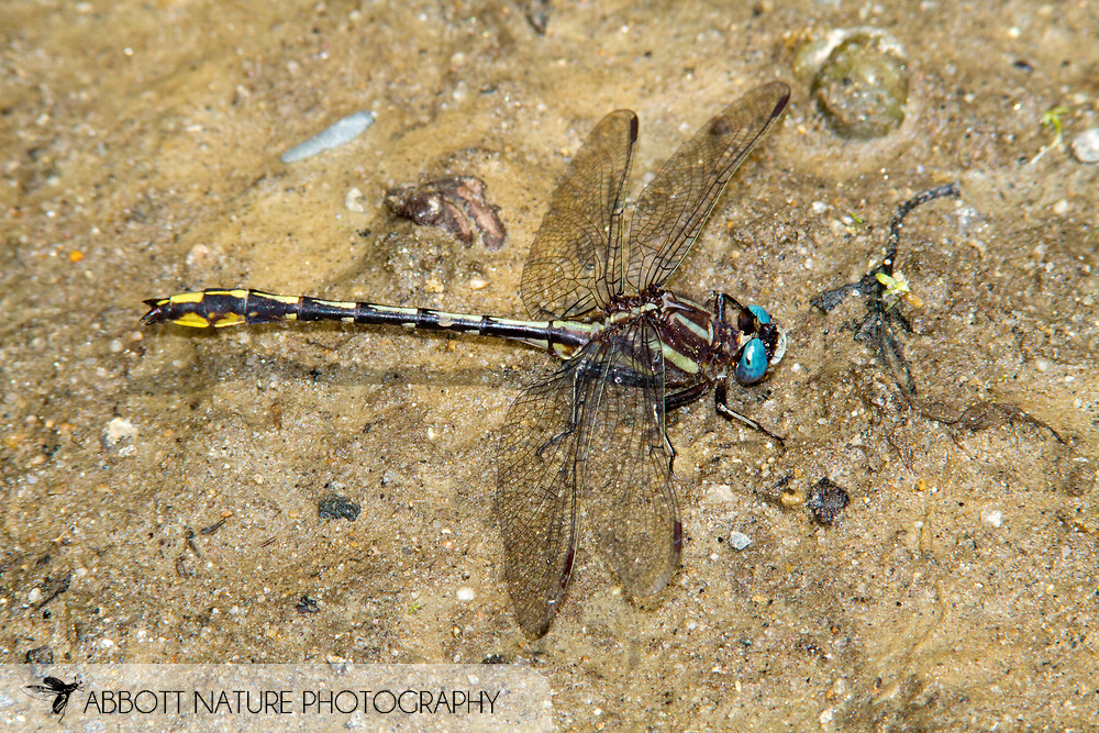 Lancet Clubtail (Phanogomphus exilis) - male<br /> MAINE: Oxford Co.<br /> Androscoggin River @ Green Island off Canton Point Rd. near Peru<br /> 19.June.2010<br /> J.C. Abbott #2443
