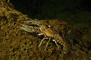 Spiny-Cheek Crayfish<br />