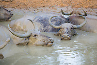 Asian Water Buffalo (Bubalus bubalis) wallowing in a muddy natural pool, Yala National Park, Sri Lanka