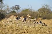Cheetah<br /> Acinonyx jubatus<br /> Mother and 16 month old cubs<br /> Okavango Delta, Botswana