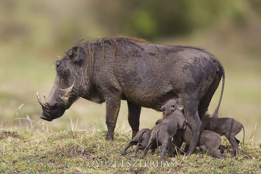 AFRICAN WART HOG <br /> Phacochoerus aethiopicus<br /> Mother and piglet(s)<br /> Masai Mara Reserve, Kenya