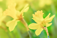Close up of spring daffodils.