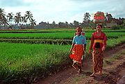 INDONESIA, BALI, CEREMONIES rural Balinese carrying temple offerings  through the rice paddies to their village temple