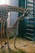 Mother and calf giraffes, London Zoo, England, United Kingdom.