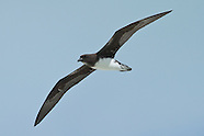 Phoenix Petrel photos