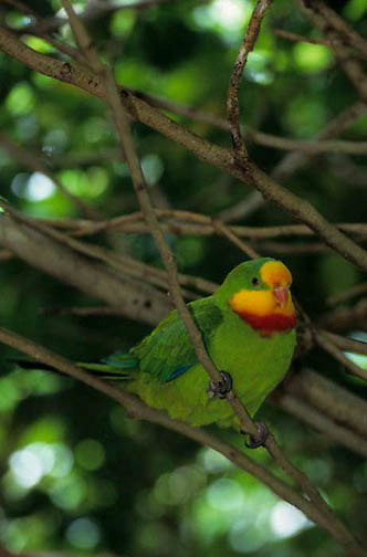 Superb Parrot, (Polytelis swainsonii) Southern Australia.