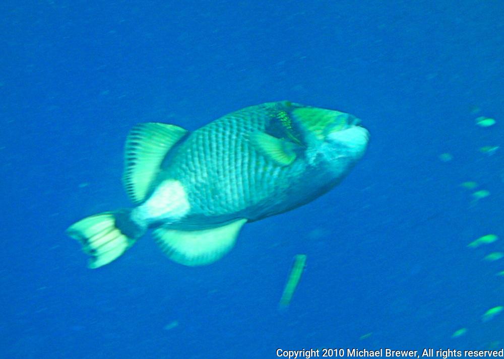 A single big fish swimming in the blue sea off Bali, Indonesia.