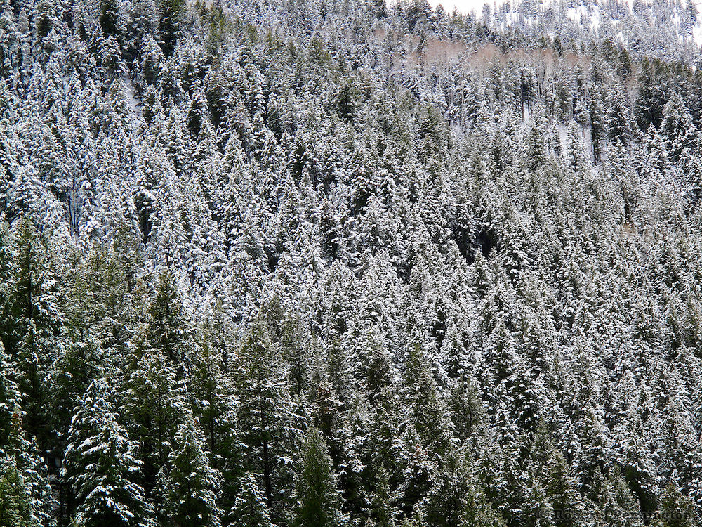 Winter snow on pine trees in the Wasatch Mountains of Utah.