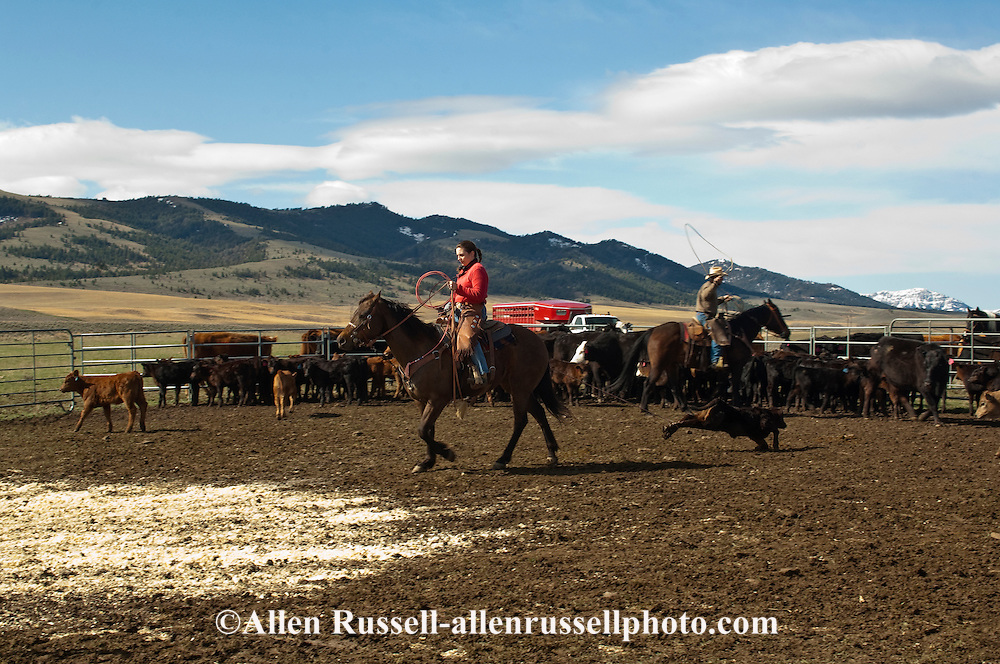 Cowgirl Jessica Sarrazin ropes and drags calves to the fire to be branded, Wilsall, Montana, Bridger Mountains, MODEL RELEASED, PROPERTY RELEASED on woman only