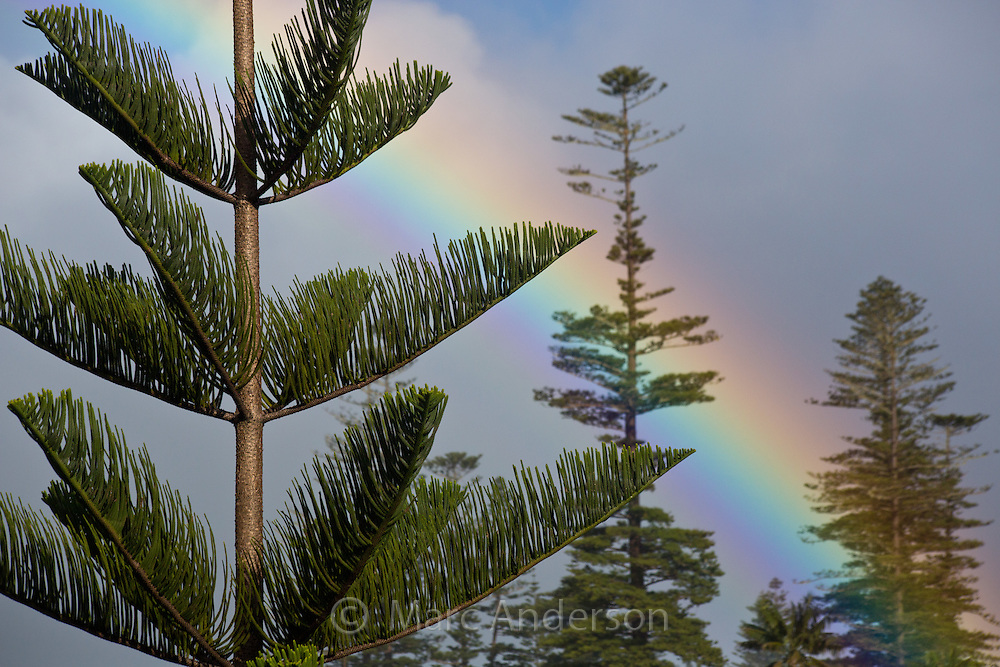 Rainbow and Norfolk Island Pine Trees, Araucaria heterophylla, Norfolk Island, Australia