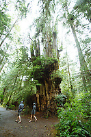 Big cedar tree near Kalaloch Lodge in Olympic National Park, WA