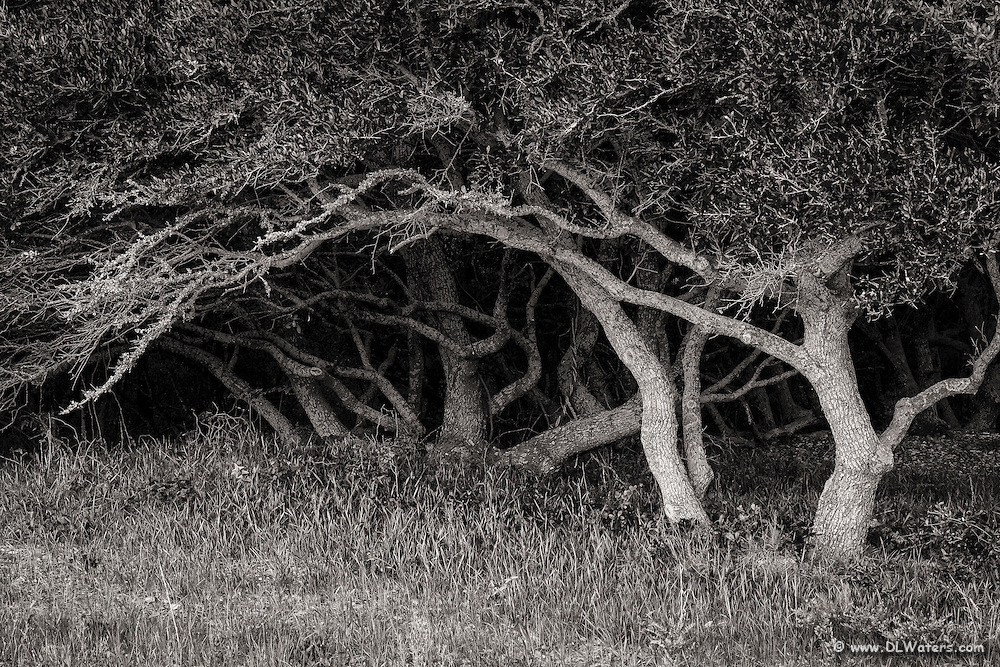 B&W live oak and shadows at the Wright Brothers Memorial in Kill Devil Hills on the Outer Banks, NC.