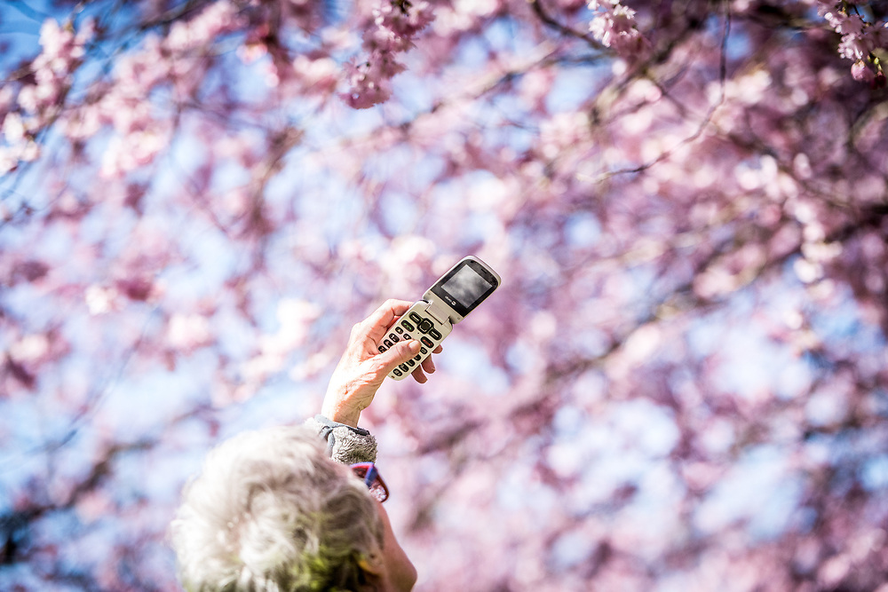 Copenhagen, DenmarkThursday 6th April, 2017Spring has well and truly arrived in the Nordvest district of Copenhagen, Denmark. On Thursday morning, hundreds of people flocked to the grounds of Bispbjerg Cemetery to admire and photograph the impressive Cherry Blossom trees that have recently come in to bloom.© Copyright 2017 Alamy News / Matthew James Harrison
