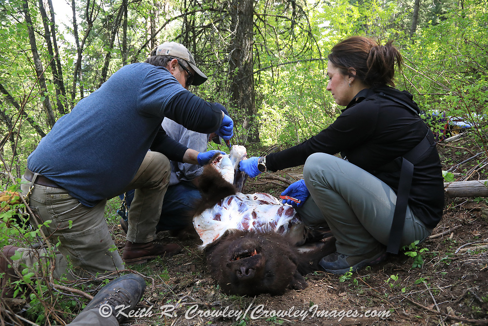 Scott Denny and Angie Denny field dressing Keith Crowley's chocolate phase boar, tagged while black bear hunting with hounds in Idaho.