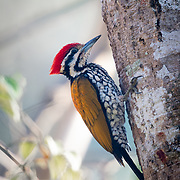 The common flameback or common goldenback (Dinopium javanense) is a species of bird in the family Picidae