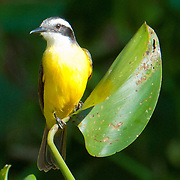 Lesser Kiskadee in the Pantanal, Brazil