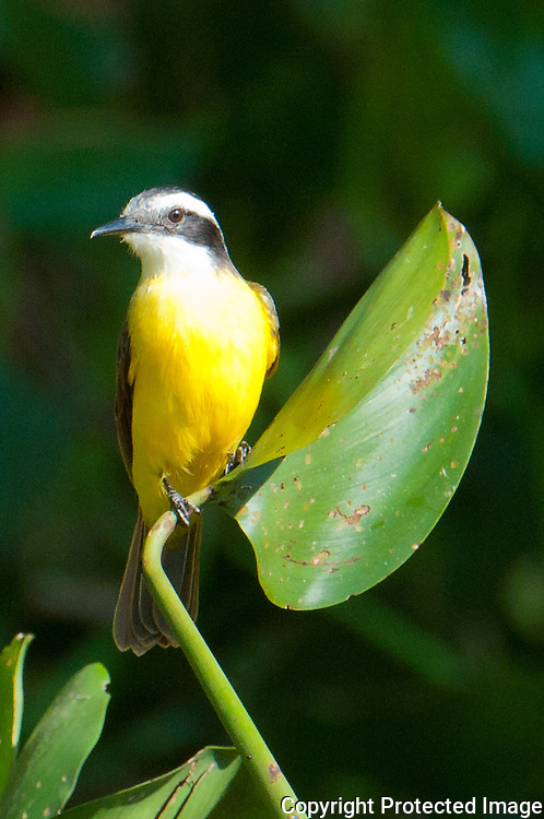 Lesser Kiskadee in the Pantanal, Brazil