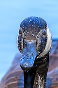 Close-up of a Canada Goose - Branta canadensis head covered with water drops