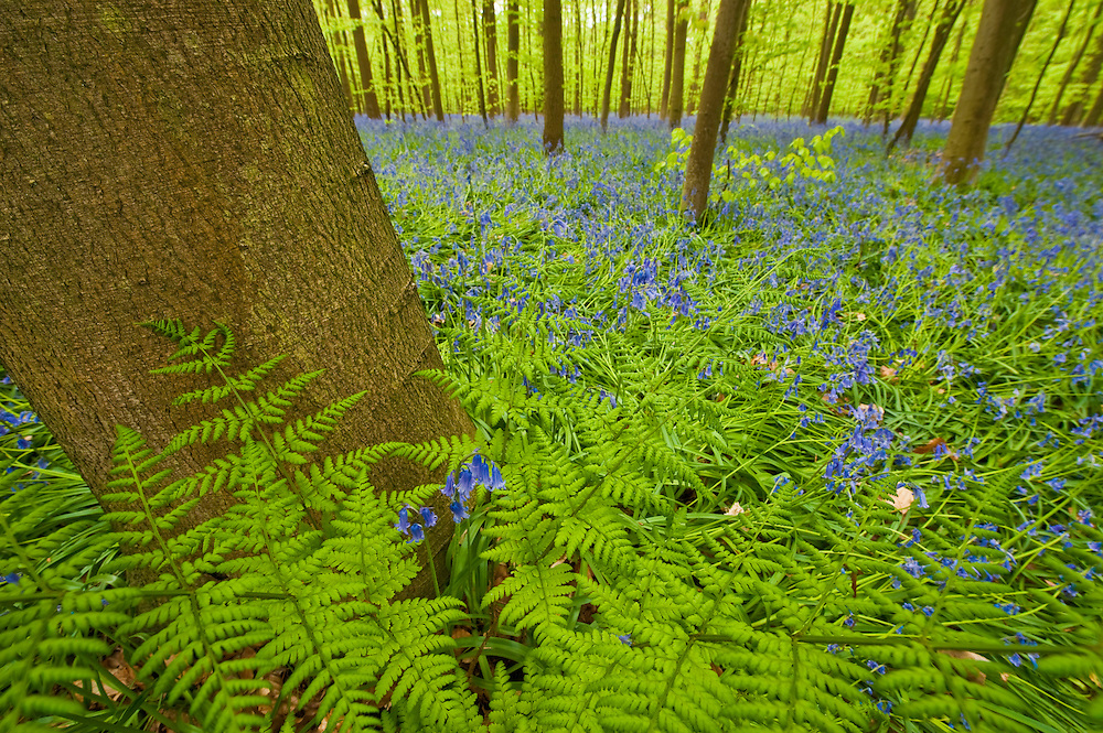 Ferns and bluebells Hyacinthoides non-scripta in Hallerbos forest, Belgium