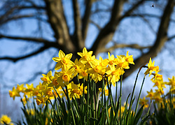 © Licensed to London News Pictures. 10/03/2014. Basingstoke, Hampshire UK. Daffodils blooming in Eastrop Park in Basingstoke today, 10th March 2014. The mornings are set to get colder over the next week due to clearer skies. Photo credit : Rob Arnold/LNP