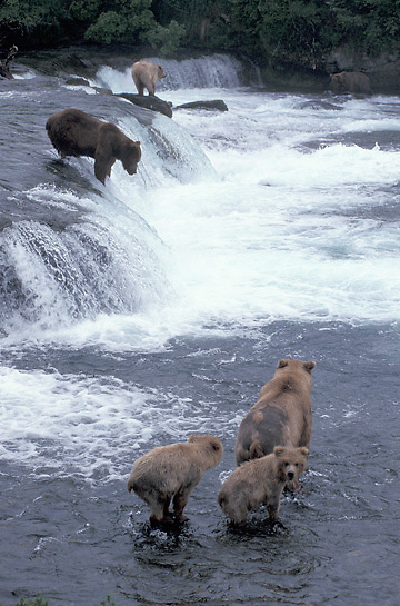Alaskan brown bear (Ursus middendorffi) sow and cubs fishing for salmon at Brooks Falls on the Brooks River, Alaska.