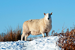 © Licensed to London News Pictures. 18/01/2015.  A ewe on the high moorland of the Mynydd Epynt.  Mid Wales woke to sub zero temperatures and a beautiful blue sky. Mynydd Epynt, Powys , Wales, UK. Photo credit: Graham M. Lawrence/LNP