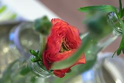 THEMENBILD - frische rote Ranunkeln mit Knospe (Ranunculus asiaticus) aus der Gattung Hahnenfuß in einer Vase, aufgenommen am 22. Februar 2018, Ort, Österreich // fresh red ranunculus with bud (Ranunculus asiaticus) from the genus Hahnenfuß in a vase on 2018/02/22, Ort, Austria. EXPA Pictures © 2018, PhotoCredit: EXPA/ Stefanie Oberhauser