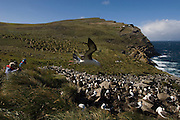 Tourists at Black-browed Albatross (Thalassarche melanophrys) and Rockhopper Penguin (Eudyptes chrysocome chrysocome) colony.<br /> West Point Island. Off of West Falkland. FALKLAND ISLANDS.