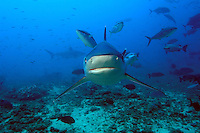 Silvertip Reef Shark Approaching