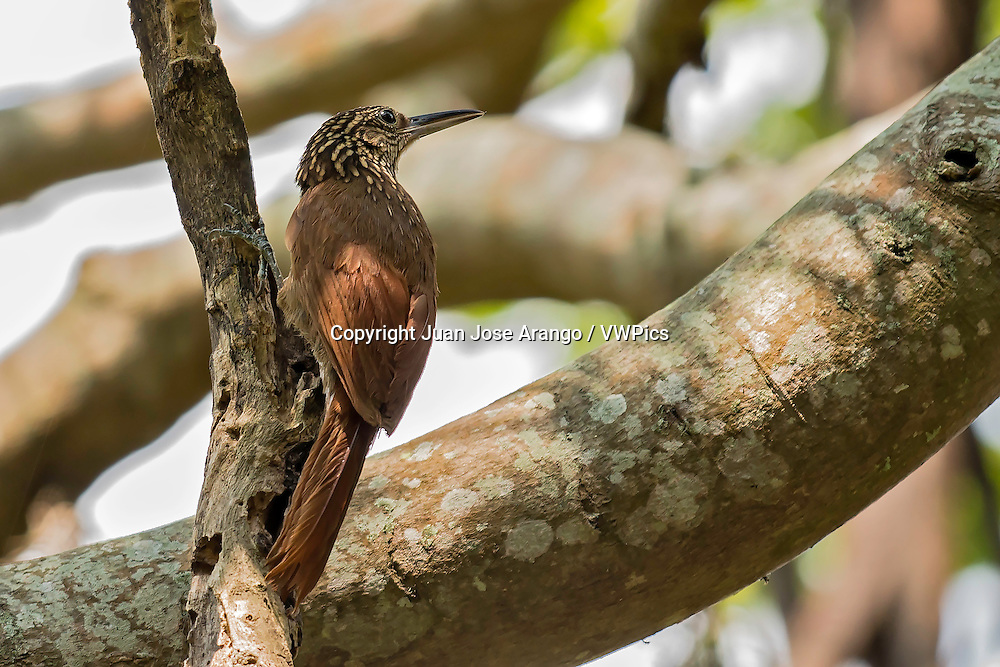 Cocoa Woodcreeper (Xiphorhynchus susurrans), laguna de Sonso, Buga, Valle del Cauca