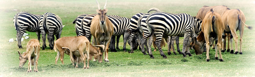 Converging herds of anteloppe, goats and zebras graze in a meadow