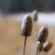 """Along the roadside in Loudoun County, Virginia, prickly dried Teasel plants collect ice and snow creating beautiful """"ice prickles."""""""