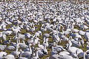 Snow Geese congregate in a field at Hayton Reserve grazing on the grass and digging up roots.