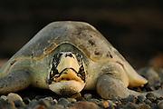 In contrast to the more flat-curved carapace of its fellow species (the Kemp's ridley which is endemic to the Carribean), this olive ridley sea turtle (Lepidochelys olivacea) has a tent-shaped carapace with steep flanks. | Von ihrer Schwester-Art, der Atlantik-Bastardschildkröte, unterscheidet sich die Oliv-Bastarsdschildkröte (Lepidochelys olivacea) unter Anderem durch ihren hohe, oben abgeplatteten Panzer mit den zeltartig steilen Seiten.