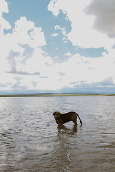 German Shepard mix dog standing in a lake in New Mexico