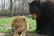 I wanna be like you! Meet Baloo the brown bear who is best friends with Leon the lion and Shere Khan the tiger after the unlikely three bonded as cubs<br /> <br /> Known collectively as the BLT, Baloo the bear, Leo the lion and Shere Khan the tiger have forged an unusually strong bond and are the only bear lion and tiger in the world who live in the same enclosure.<br /> Considering that they would be mortal enemies if they ever were to meet in the wild, it is stunning to see their unique and genuine friendship in these intimate pictures.<br /> Rescued 13-years years ago during a police drugs raid in Atlanta, Georgia, the little family were only cubs at the time at barely two months old.<br /> <br /> They had been kept as status symbol pets by the drug barons.<br /> Delivered to the Noah's Ark Animal Rescue Centre in Locust Grove, Georgia, the decision was made to keep the youngsters together, because of their budding rapport.<br /> <br /> 'We could have separated them, but since they came as a kind of family, the zoo decided to keep them together,' said Diane Smith, assistant director of Noah's Ark. 'To our knowledge, this is the only place where you'll find this combination of animals together.'<br /> The only time they have ever been separated is when Baloo needed an operation to remove a harness that had been left around one of his paws.<br /> <br /> It had become infected and during his surgery, Leo and Shere Khan became extremely agitated as they waited the return of their buddy.<br /> Living with the zoo's founders for more than a decade, Shere Khan, Baloo and Leo live in a high-tech habitat were the public can now witness first hand their touching friendship.<br /> 'We didn't have the money to move them at first,' said Diane.<br /> 'Now their habitat is sorted and they have been moved away from the children's zoo areas where the public couldn't really get a good look.<br /> <br /> 'It is possible to see Baloo, who is a 1000lb bear, Shere Khan, a 350lb tiger 