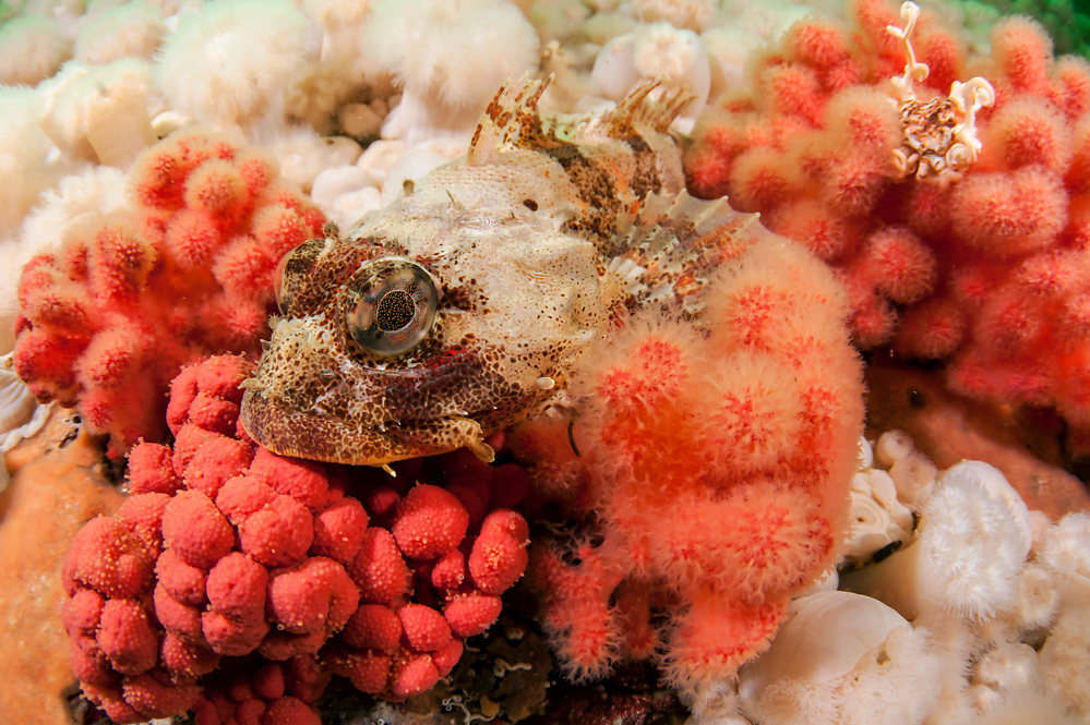 A Red Irish Lord, Hemilepidotus hemilepidotus, rests on a bed of marine invertebrates in Browning Passage, Vancouver Island, British Columbia, Canada
