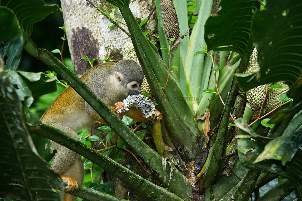 Common Squirrel Monkey (Saimiri sciureus) feeding on Philodendron fruit (Philodendron sp. Araceae)<br /> Yasuni National Park, Amazon Rainforest<br /> ECUADOR. South America<br /> HABITAT & RANGE: Tropical forests of Brazil, Columbia, Ecuador, French Guiana, Guyana, Peru, Suriname, Venezuela and Puerto Rico.