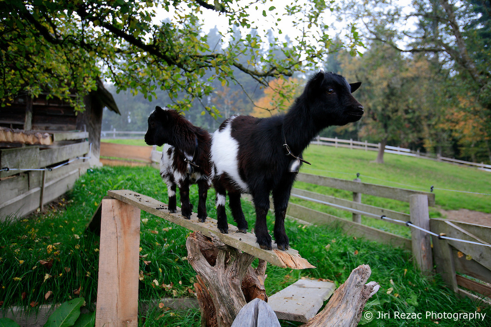 SWITZERLAND EMMENTAL LANGNAU 8OCT10 - Goats above Langnau im Emmental, Switzerland...jre/Photo by Jiri Rezac..© Jiri Rezac 2010