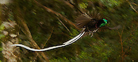 Ribbon-tailed Astrapia (Astrapia mayeri).Adult male in flight in the montane rain forest near Tomba Pass, Papua New Guinea.