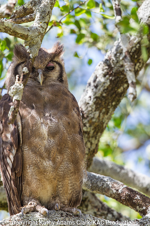 Verreaux's eagle-owl, Bubo Lacteus, perched in a tree, Serengeti, Tanzania, Africa.