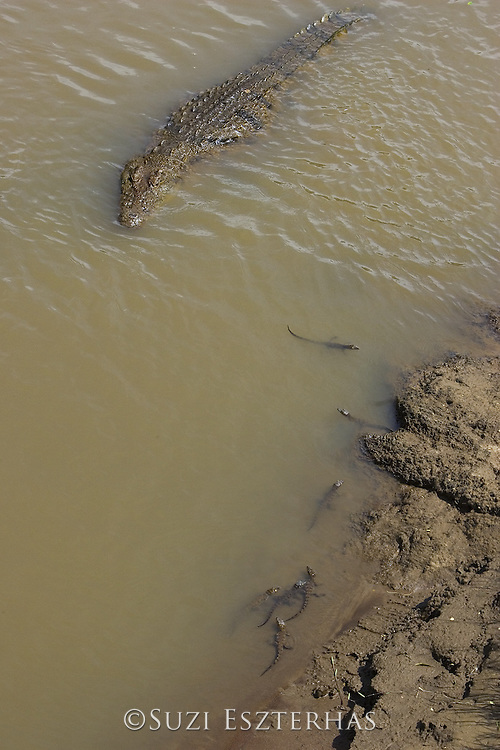 Nile Crocodile<br /> Crocodylus niloticus<br /> Mother and hatchlings in Mara River<br /> Maasai Mara Reserve, Kenya
