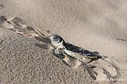 Australian flatback sea turtle hatchling, Natator depressus, crawls out of nest pit, Crab Island, off Cape York Peninsula, Torres Strait, Queensland, Australia