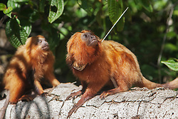 Portrait of an endangered golden lion tamarin (Leontopithecus rosalia) with an active radio collar used by research scientists, Brasil, South America
