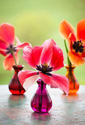 Tulipa 'Gentle Giant' in coloured Jarapa vases